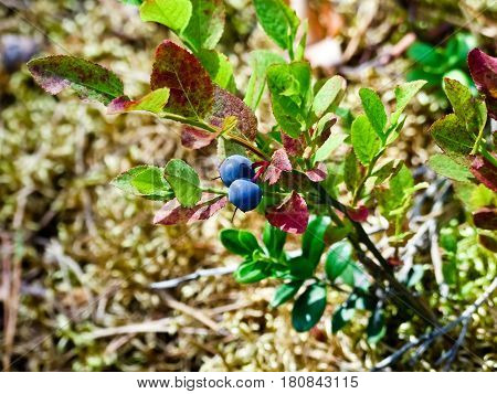 bilberry berries on a branch, ripe also grow in the wood, two pieces, fall, leaves redden and autumn, the last berries, a yellow light grass against the background