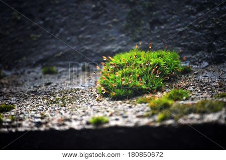 Green and Dewy Moss in the Sunlight