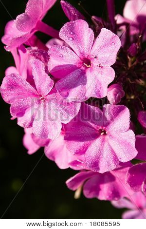 Beautiful Pink Phlox Covered With Dew