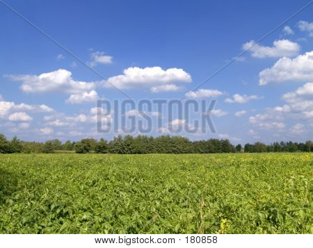 Potato Field.