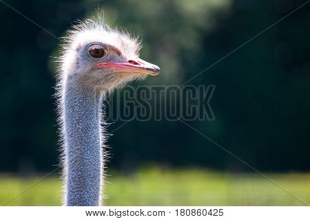 ostrich head closeup in nature. The ostrich head on green nature background