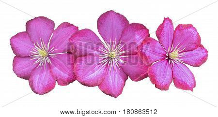 A close up of the flowers clematis. Isolated on white.