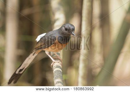 Natural wildlife rare, White-rumped Shama Texture background