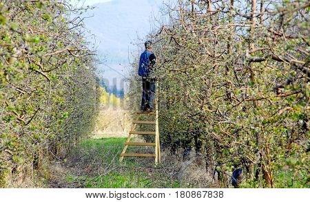 RESEN MACEDONIA. APRIL 3 2017- Farmer pruning apple tree in orchard in Resen Prespa Macedonia. Prespa is well known region in Macedonia on producing high quality apples.