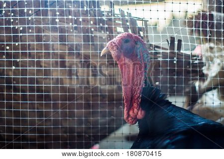 Big male turkey in a farm. Pet.