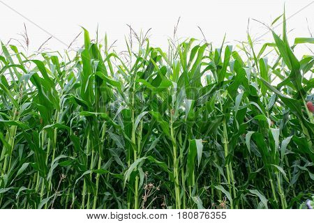 Rows of Corn Stalks Growing . Isolated on white background.