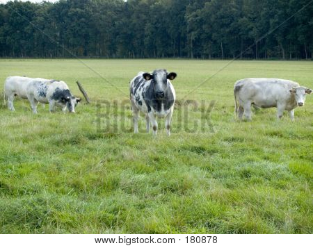 Cows Grazing.