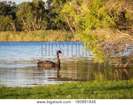 Black Swan on Herdsman Lake Western Australia