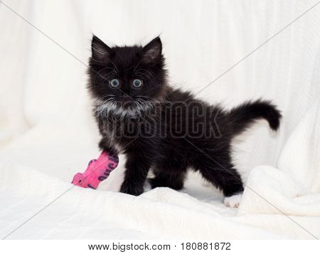 Injured black kitten with pink bandaged front paw and limb