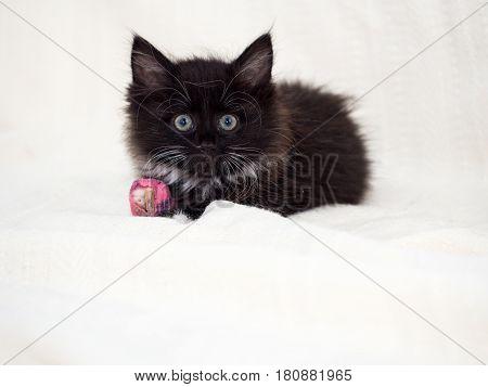 Injured black kitten with pink bandaged front paw