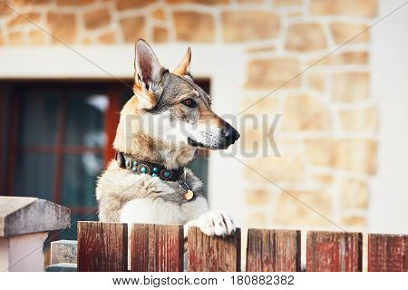 Beware of the dog. Czechoslovakian wolfdog behind the fence of the house.