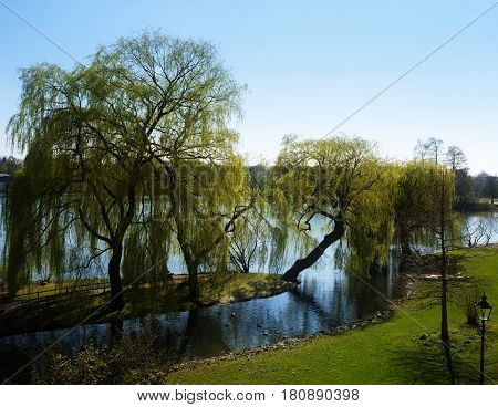 Weeping willows (Salix babylonica) on the shore of a lake in an idyllic park landscape in the spring