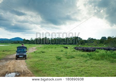Minneriya, Sri Lanka - Mach 14, 2017: Tourist make game drive in Mynneriya national park. This park is famous to spot herds of wild asian elephants (specie elephas maximus maximus)