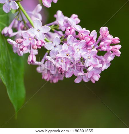 Macro image of spring lilac violet flowers, abstract soft floral background