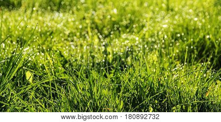Spring background abstract with fresh green grass and dew drops in the lawn panorama format selected focus