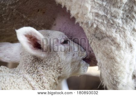 closeup of lamb head drinking from udder of ewe