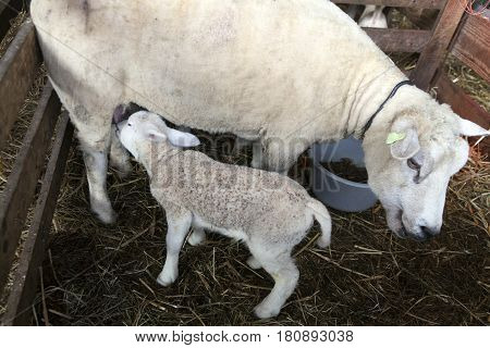 lamb drinks from udder of mother sheep inside barn on organic farm in the netherlands