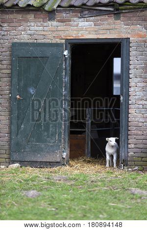 young lamb stands in opening of barn door and looks outside