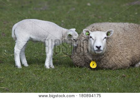 ewe lies in fresh green grass of meadow with lamb sniffing mother