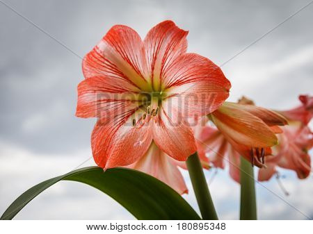 Amaryllis Flowers Against Cloudy Sky
