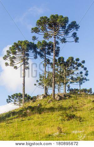 Araucaria Angustifolia Trees