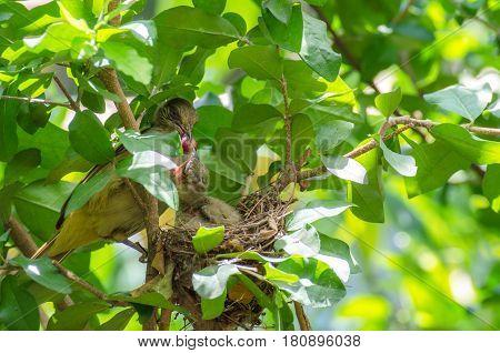 mother bird feeding her baby fruit on tree soft focus selective focus.