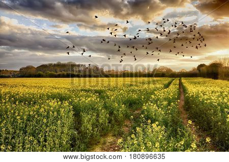 Fields of golden yellow rapeseed crop with pink clouds at sunset in England. Wide angle landscape with a path going through the plants