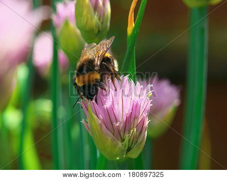 Bee Collect Nectar On A Chive Onion Blossom, Closeup Macro Flower