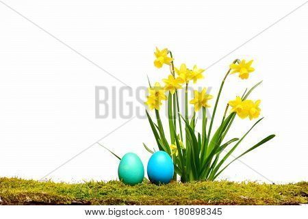 Traditional Easter Blue Eggs, Spring Yellow Narcissus Flower On Moss