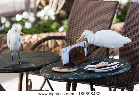 table with brown chairs with cute wild birds with white feathers plumage and long orange beak eating pizza food leftovers from plate in outdoor cafe on sunny summer day on natural background