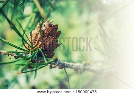 Ovulate cone of larch tree spring beginning of June