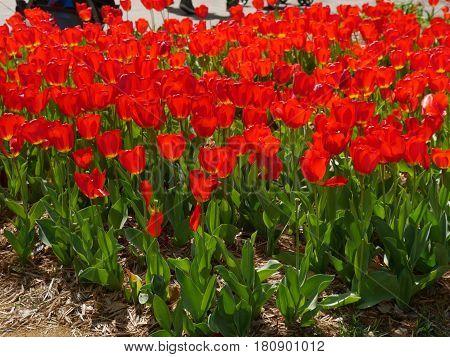 Beautiful garden of red tulips in full bloom