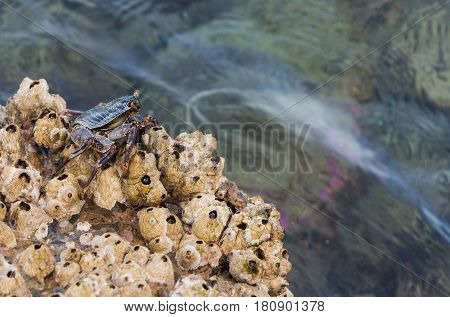 Grey crab with exoskeleton and claws pincers sitting on marine shell stone or coquina in sea or ocean water on sunny day on natural background. healthy environment flora and fauna