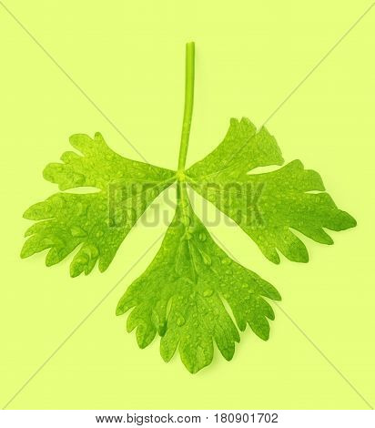 isolated celeriac leaf placed on green background