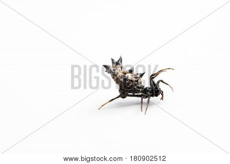 Micrathena gracilis is a spider in the family Araneidae, commonly known as the spined micrathena. This spider spins a moderately large, very tightly coiled web, often in wooded or brushy areas.