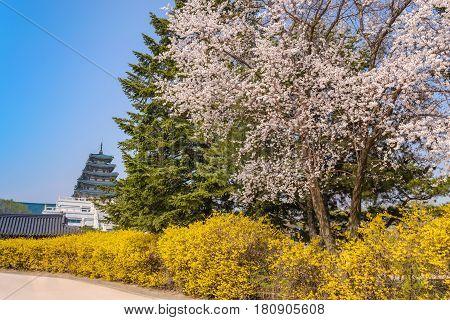 Spring cherry blossom or sakura flower at Gyeongbokgung Palace Seoul South Korea