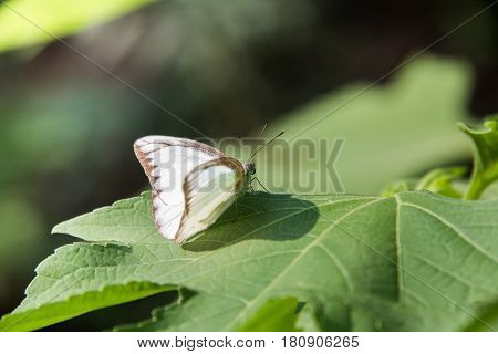 Butterfly on the leaf. Abstract beautiful light from sunshine. white batterfly with green background.