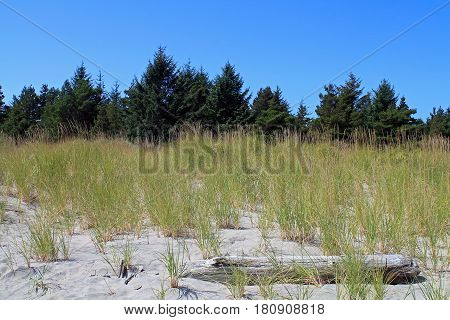 At the Beach - Sand Dunes Driftwood Beach Grass and Evergreen Trees in the Background