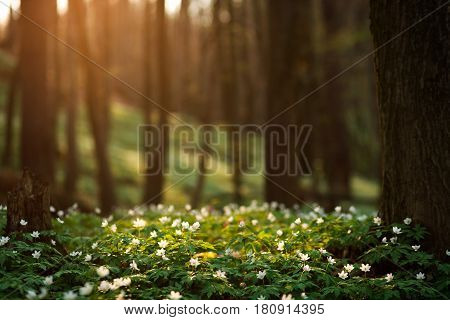 Spring awakening of flowers and vegetation in the forest on background of the setting sun shallow depth of field