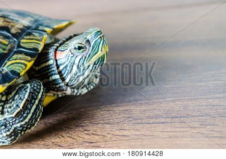 Pond slider red-eared closeup on wooden background