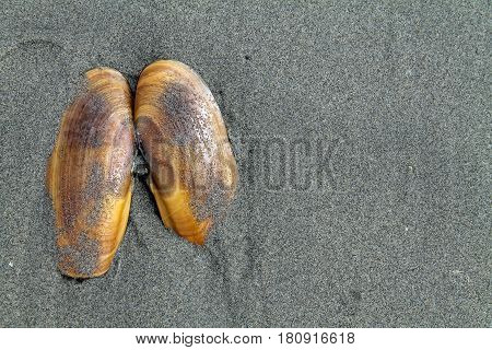 Razor Clam Shell in the Sand at the Beach