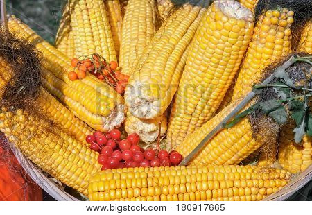 At the fair sold fruit corn on the cob garnished with berries of mountain ash and viburnum. Presented by close up top view.