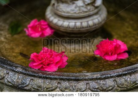 Bright Pink Japanese Camellia Flowers In Water
