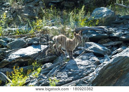 Mountain goat descends the rocks from the cliff