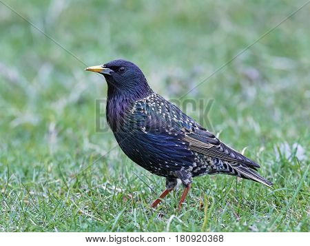 Common starling standing in grass in its habitat