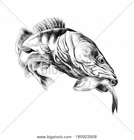 predatory fish pike caught and is holding in its mouth a dead small fish sketch vector graphics black and white drawing