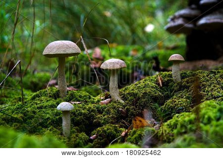 Forest edible mushrooms Podborozoviki in natural conditions. Nature.