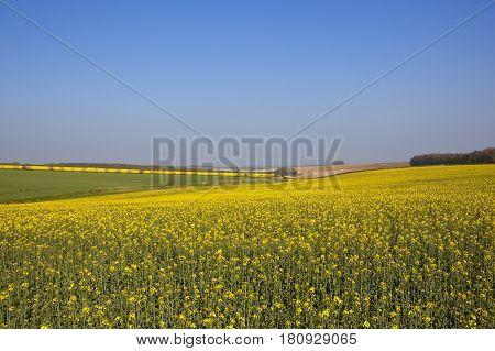 Oilseed Rape Crop In The Vale Of York