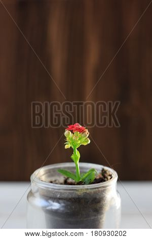 Red Flower Of Kalanchoe - Small Home Plant
