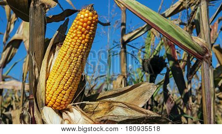 Ripe Corn Cob on a Stalk. Detail of dried corncob on the field ready for autumn harvesting.